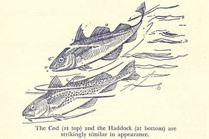 Origin Of Scrod