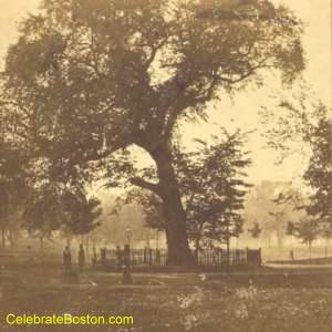 Boston Common Great Elm